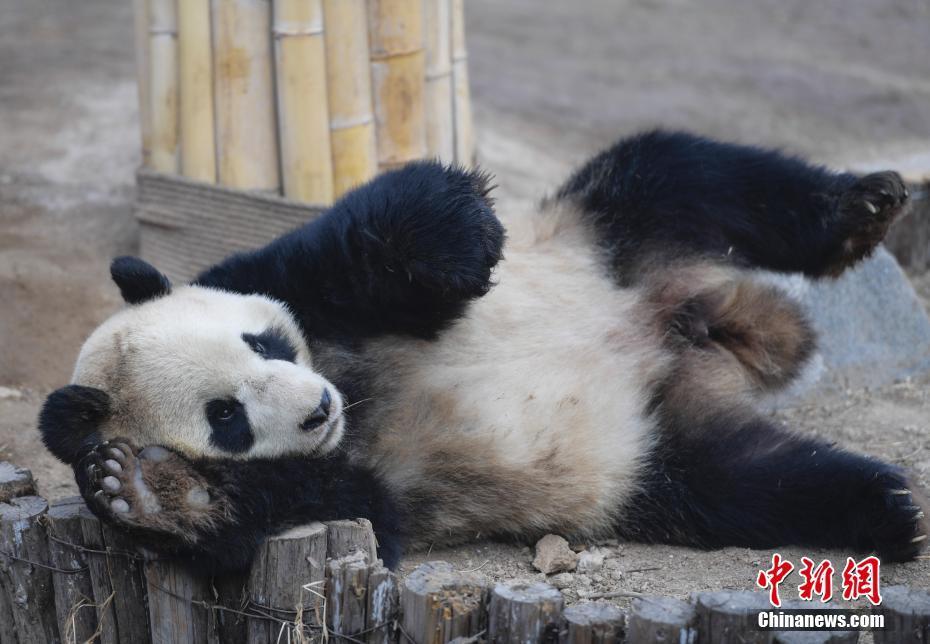 """济南动物园大熊猫与游客见面 """"国宝""""兄弟隔栏相望"""